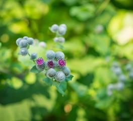 Flowering Great Burdock (Arctium lappa). Selective focus.