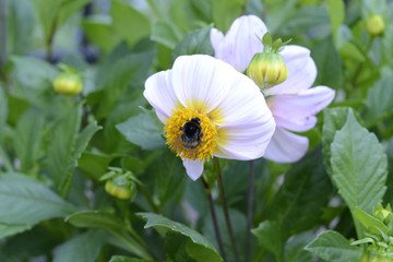 bumble bee on a white flower