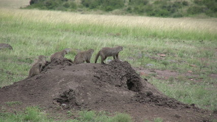 mongoose in a line on top of an anthill