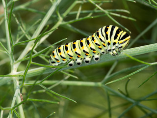 Papilio machaon, Swallowtail butterfly caterpillar, in fennel.