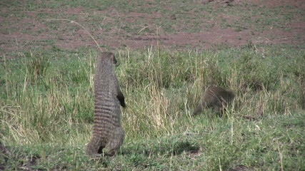 mongoose standing on back legs
