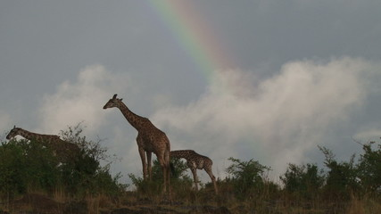 giraffes with a rainbow in the background.
