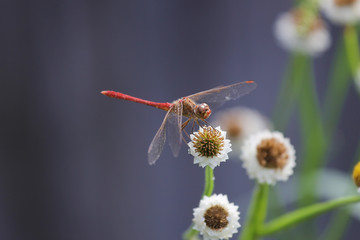 dragonfly on a white flower