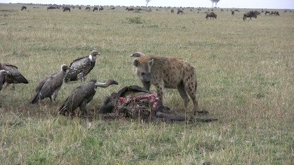 Hyena eating carrion with vultures.