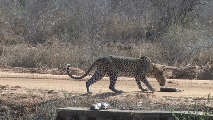Leopard goes to retrieve his kill from a road