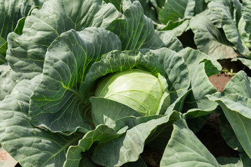 close-up of fresh cabbage vegetable in field background