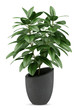 houseplant in black pot isolated on white background - 70620687