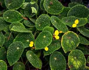 Begonia microsperma (ficicola)