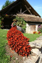massif de bégonia horticole