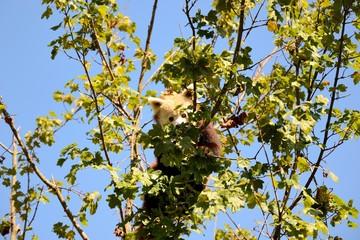 Lesser panda on a tree