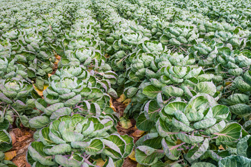 Field with Brussels sprouts plants from close