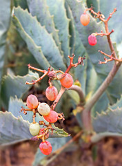 Wild grape succulent plant