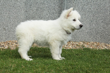 Beautiful puppy of White Swiss Shepherd Dog standing