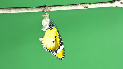 Time Lapse of Monarch butterfly emerging from cocoon on green