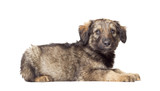 fluffy puppy mutts on a white background poster