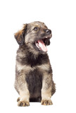 cute fluffy puppy mutts with open mouth on white background poster