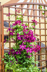 Beautiful purple clematis growing up a trellis