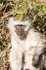 A portrait of a wild Vervet Monkey