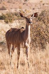 A wild female Kudu antelope walking through very dry grassland