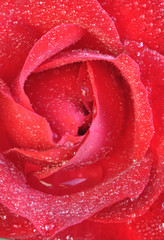 Coeur de rose cristalisé