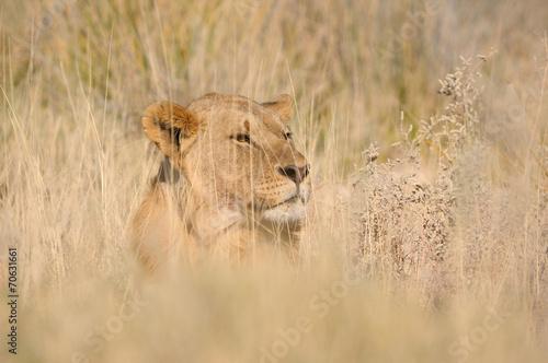 Foto op Plexiglas Leeuw Hiding lion