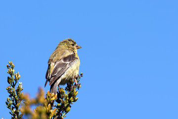 American goldfinch and sky