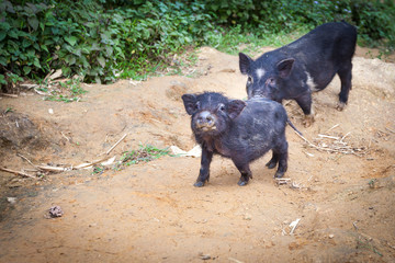 Little pigs are walking on a dirt trail in the village