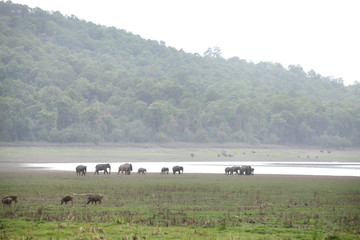 Wild boars and Elephants in the Dhikala grassland