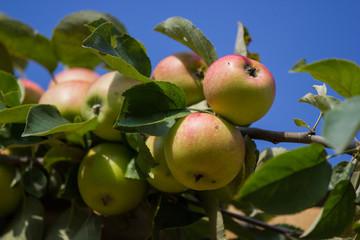 Apfelbaum mit Äpfeln