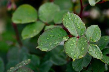 rosenblaetter im regen