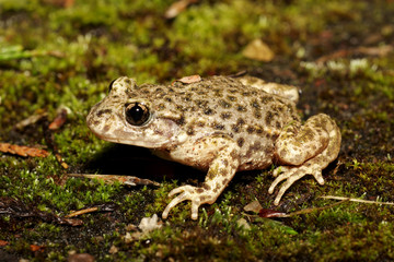 Midwife Toad - Alytes obstetricans
