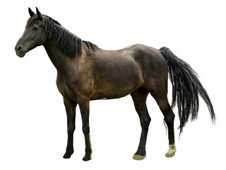 Majestic Stallion Horse Isolated