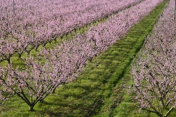 frutteto susine prugne fioritura primaverile  emilia romagna