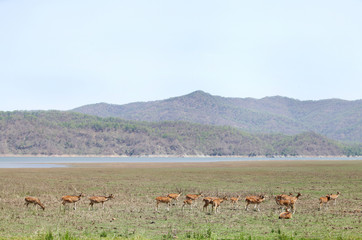 Beautiful Spotted deer in the grassland of Dhikala