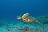 Fotoroleta Hawaii Turtle Swimming