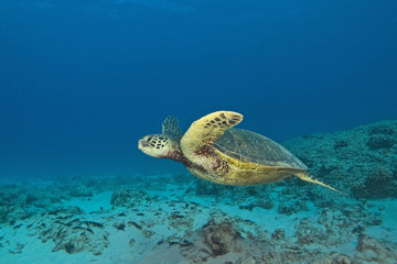 Hawaii Turtle Swimming
