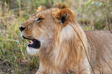 Lion - Safari Kenya