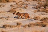 Caracal - Safari kenya
