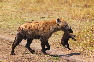 Hyena with Baby - Safari Kenya