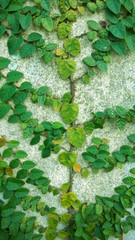 Green creeper on cement wall