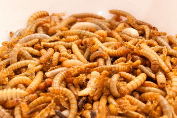 Mehlwürmer zur Zubereitung von Insektengerichten