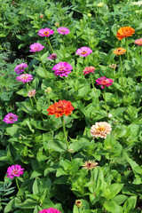 Bed from fine red zinnia