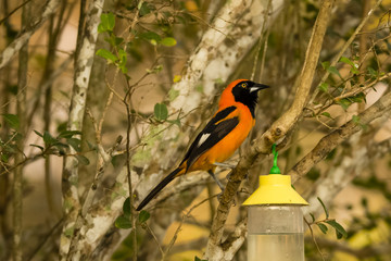 Orange-backed Troupial Perched on Branch by Feeder