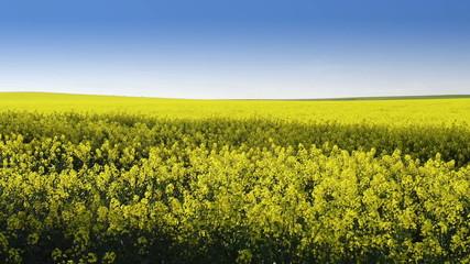 Footage of canola field or rapeseed field under blue sky
