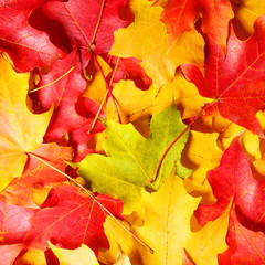 Fall. Autumn Maple Leaves background. Colored leafs.