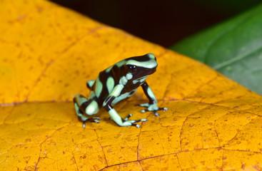 green and black poison dart frog , sarapiqui, costa rica