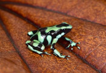 Dendrobates auratus poison arrow frog. sarapiqui, costa rica