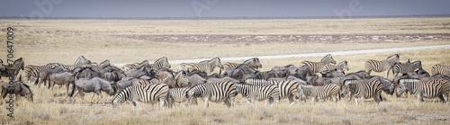 Foto op Canvas Zebra Zebre e gnu