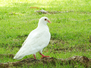 White pigeon on the grass
