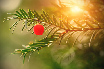 Closeup photo of fir tree with red berry